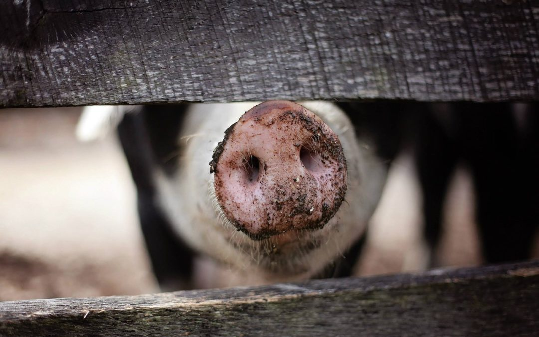 The emerging role of pigs in regenerative medicine